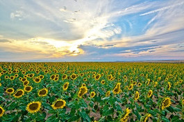 Sunflower_2